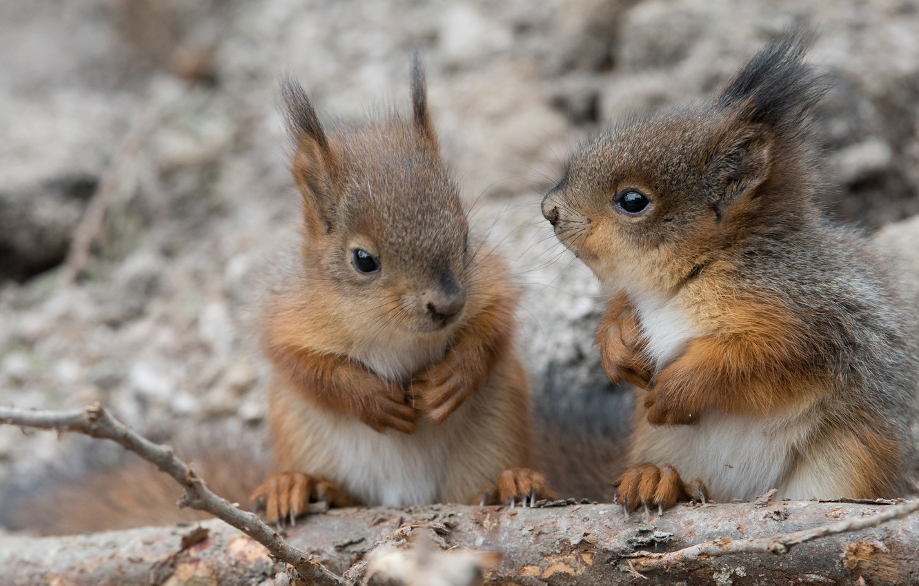 Photo wallpaper a couple, proteins, cubs, squirrels
