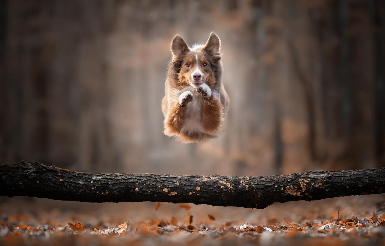 Photo wallpaper autumn, jump, dog, log, bokeh, doggie, The border collie