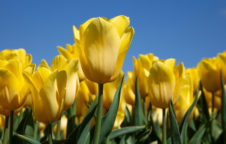 Photo wallpaper tulips, buds, yellow