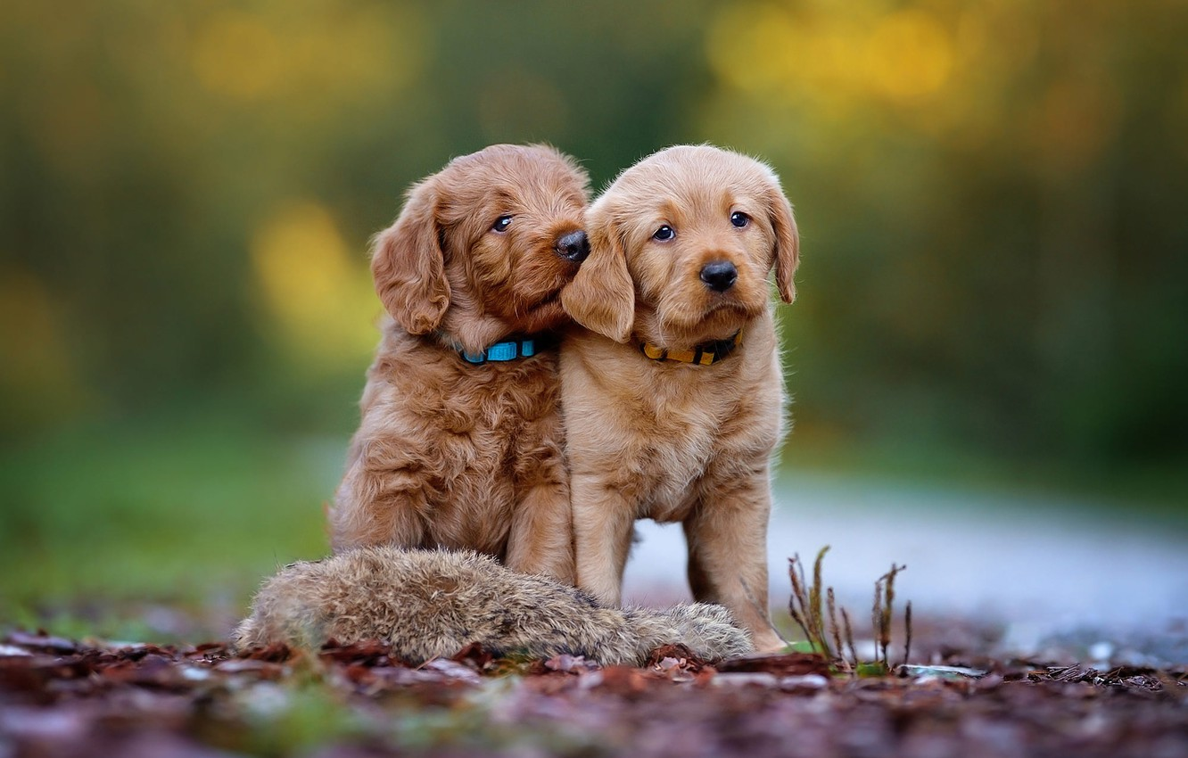 Photo wallpaper dogs, nature, background, puppies, pair, puppy, a couple, Labrador, brown, Duo, bokeh, Retriever, sitting, two …