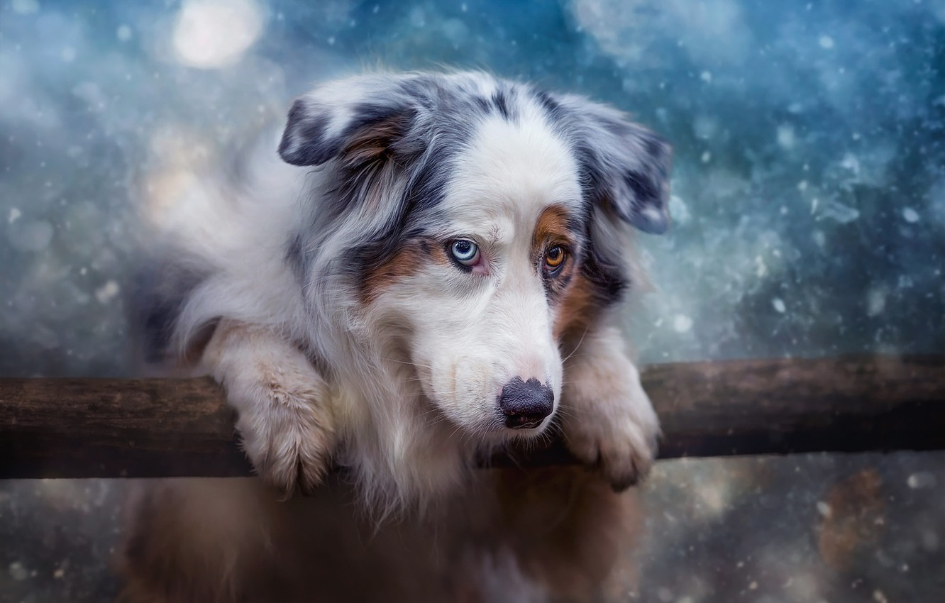 Photo wallpaper winter, look, face, nature, pose, background, mood, blue, portrait, dog, treatment, paws, log, snowfall, stick, ...