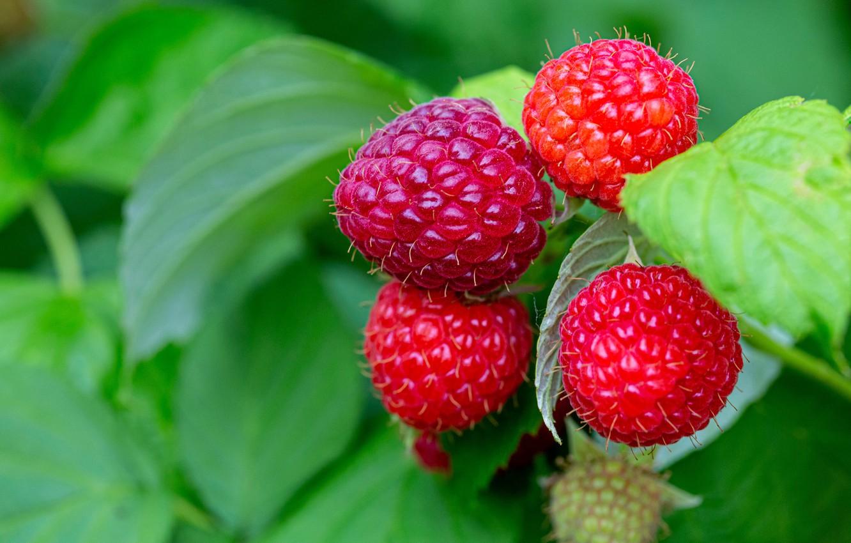 Photo wallpaper greens, summer, leaves, macro, nature, berries, raspberry, background, Bush, branch, red, juicy