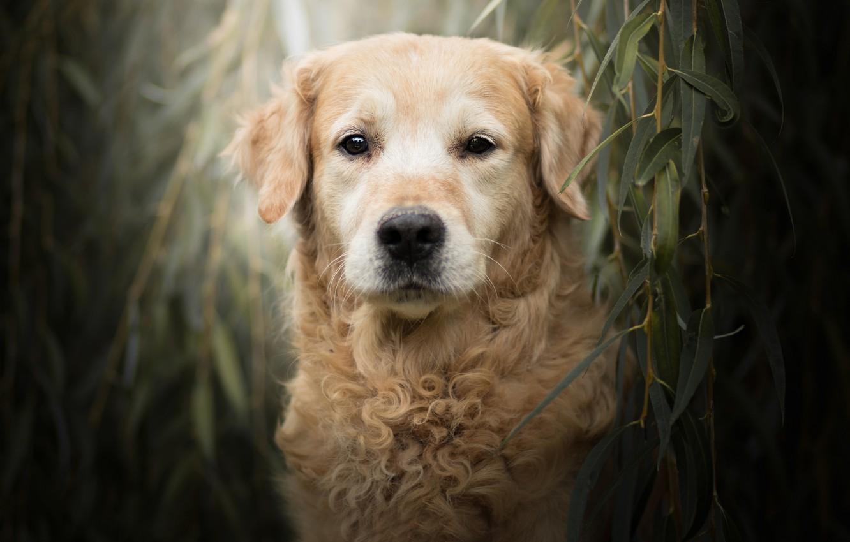 Photo wallpaper look, face, leaves, branches, portrait, dog, Golden Retriever, Golden Retriever