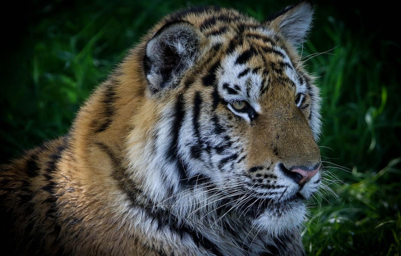 Photo wallpaper tiger, portrait, handsome