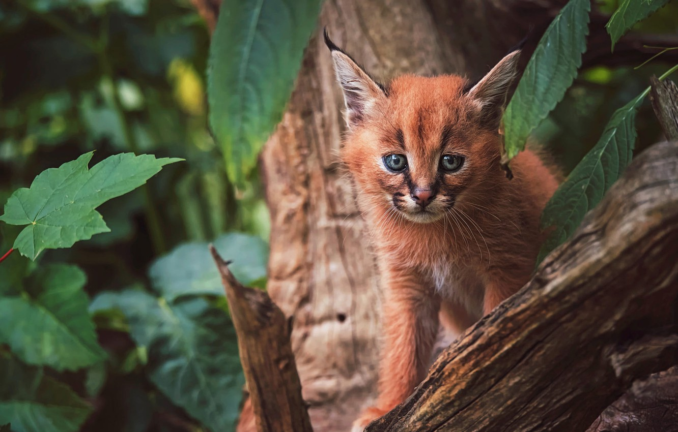 Photo wallpaper look, face, leaves, nature, pose, background, tree, baby, lynx, sitting, wild cat, Caracal, a small …