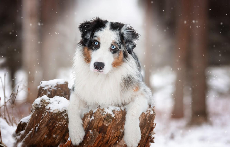 Photo wallpaper look, face, snow, stump, dog, paws, Australian shepherd, Aussie, Natalia Ponikarova