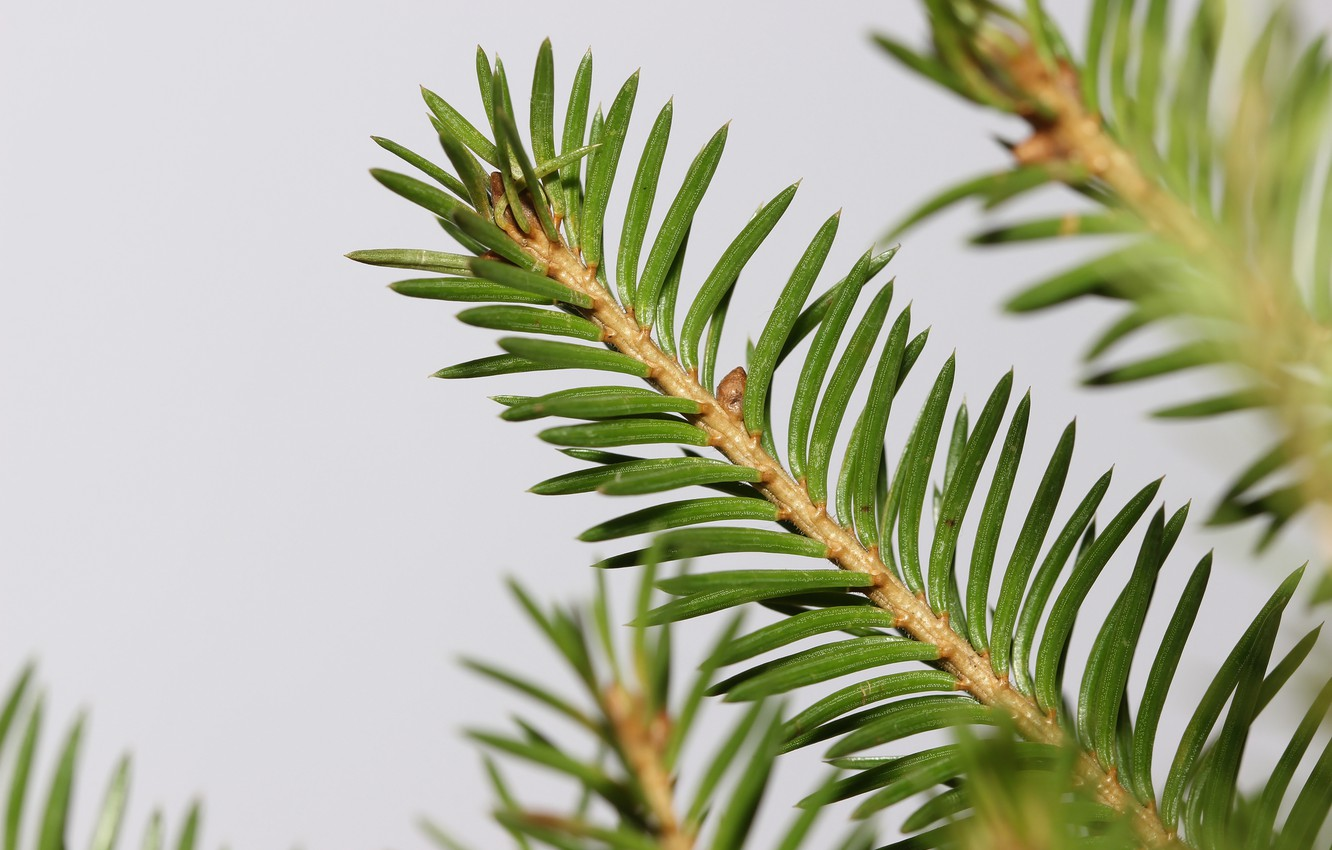 Photo wallpaper macro, needles, branches, background, spruce
