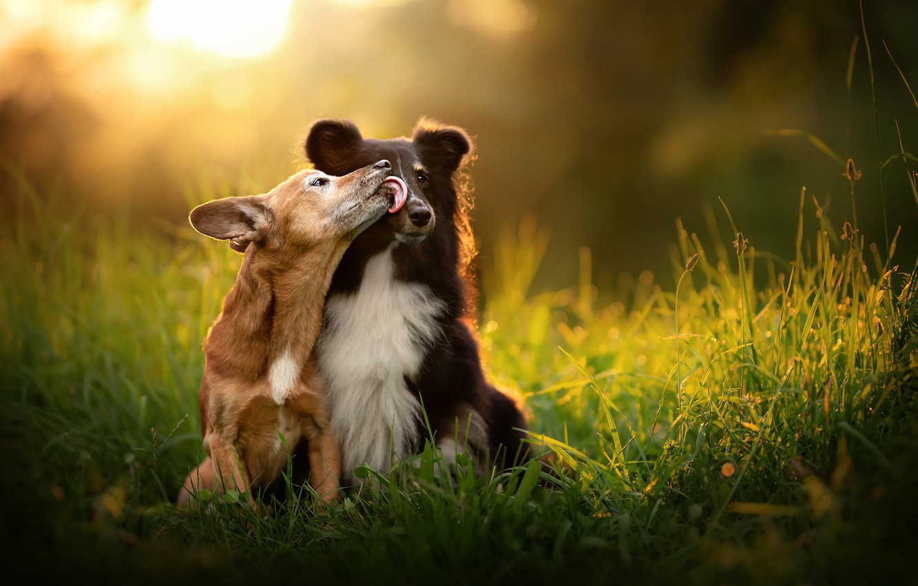 Photo wallpaper grass, mood, kiss, a couple, two dogs