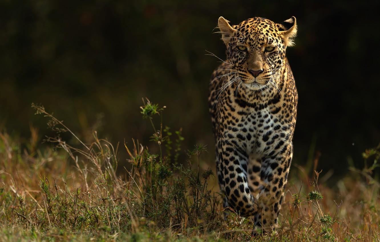 Photo wallpaper look, nature, the dark background, leopard, walk