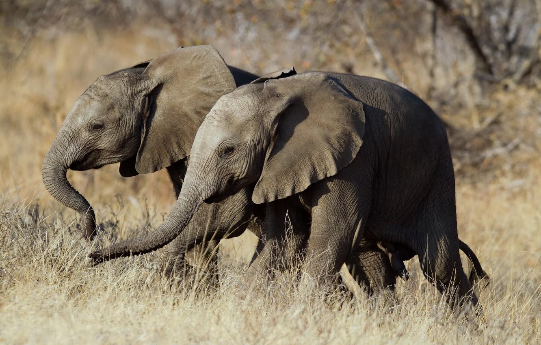 Photo wallpaper nature, Africa, elephants