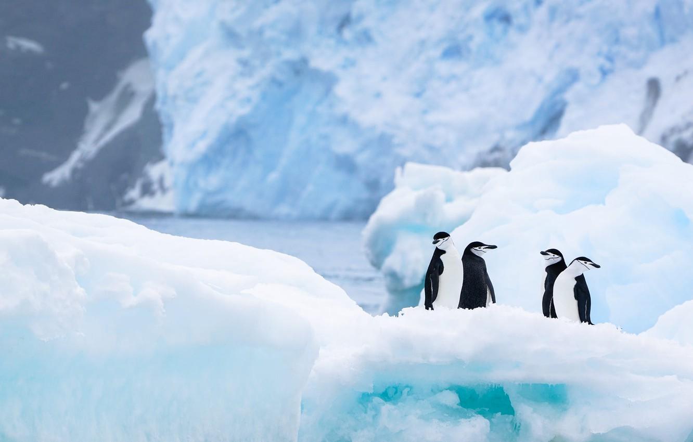 Photo wallpaper winter, snow, birds, nature, ice, penguins, glacier, iceberg, ice, penguin, ice, pond, Quartet, four, Antarctica, …