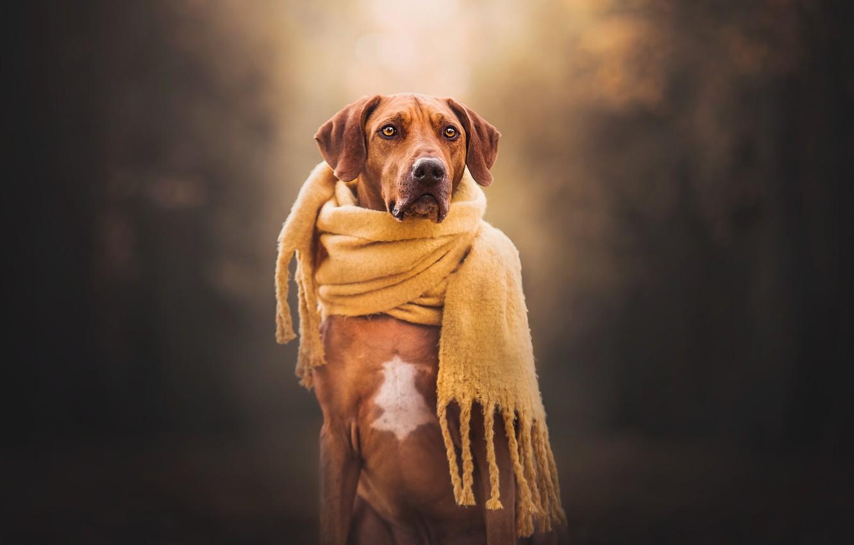 Photo wallpaper background, dog, scarf, Rhodesian Ridgeback