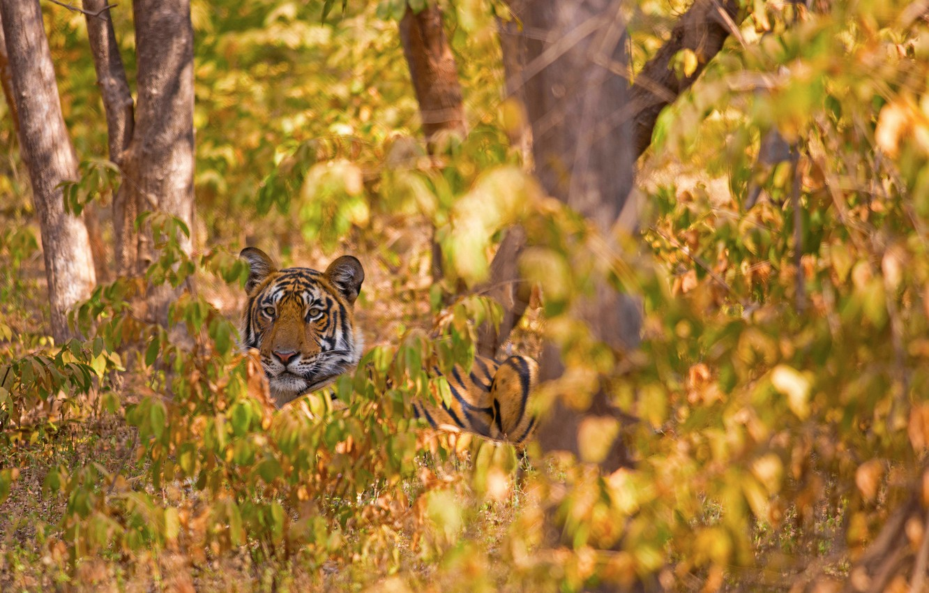 Photo wallpaper forest, trees, tiger, wild cat