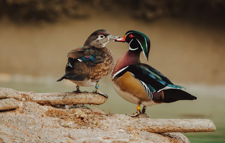 Photo wallpaper love, birds, background, bright, two, duck, wild, duck, female, male, karolinka
