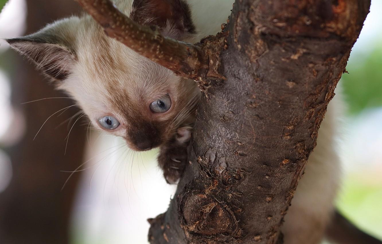 Photo wallpaper tree, baby, kitty, on the tree, Siamese cat