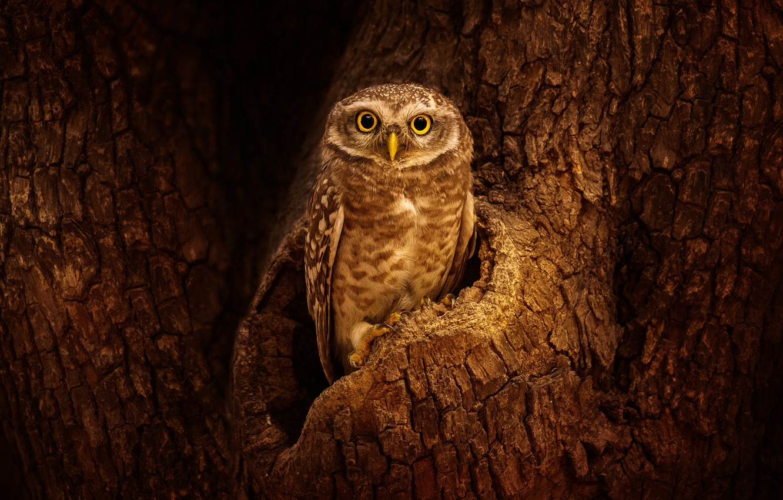 Photo wallpaper look, tree, owl, bird, bark, the hollow, owl