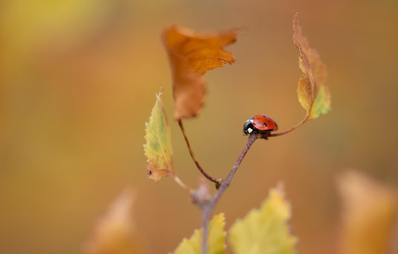 Photo wallpaper autumn, nature, ladybug