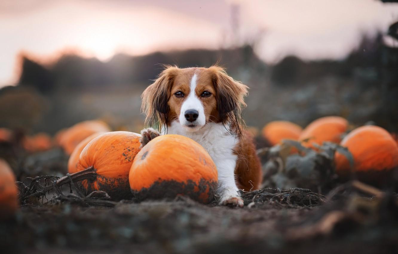 Photo wallpaper field, autumn, look, face, pose, dog, garden, harvest, pumpkin, lies, red, the garden, kooikerhondje