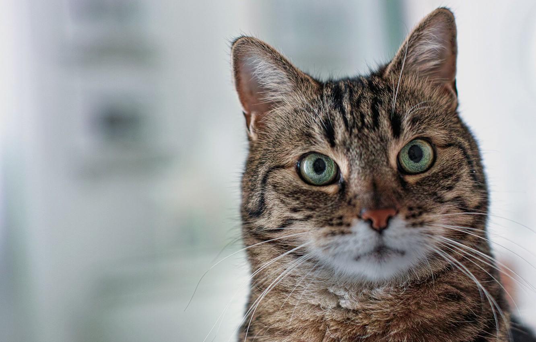 Photo wallpaper cat, cat, look, background, portrait, muzzle, green eyes
