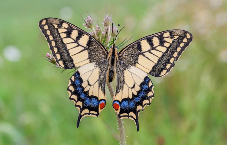 Photo wallpaper summer, butterfly, swallowtail