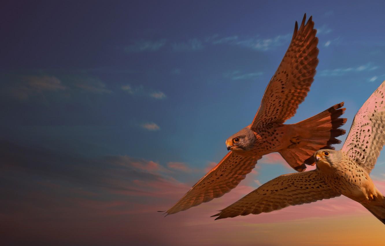 Photo wallpaper flight, birds, pair, Falcon, photoart, flying, two falcons