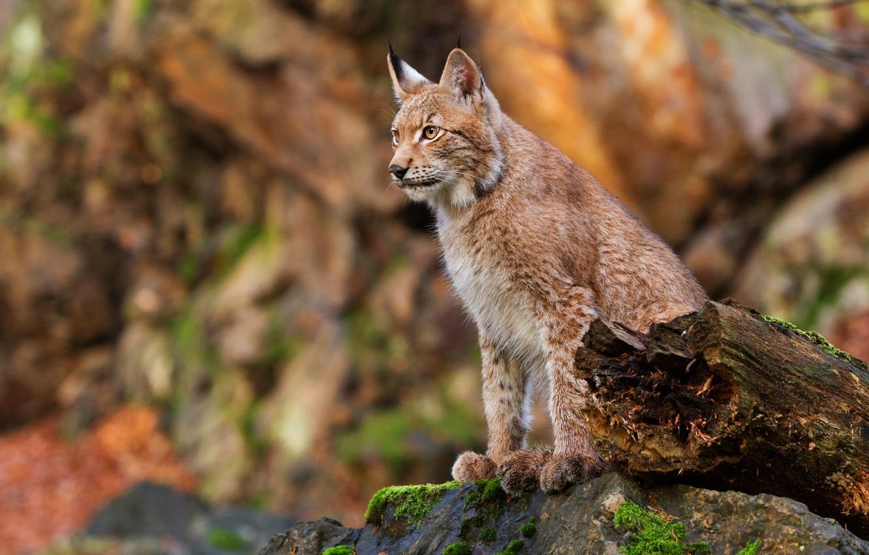Photo wallpaper autumn, stone, log, lynx, sitting, bokeh