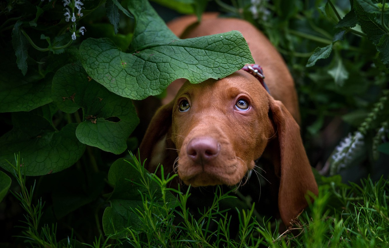 Photo wallpaper greens, look, face, leaves, nature, dog, puppy, Dachshund, brown, looking up, long ears