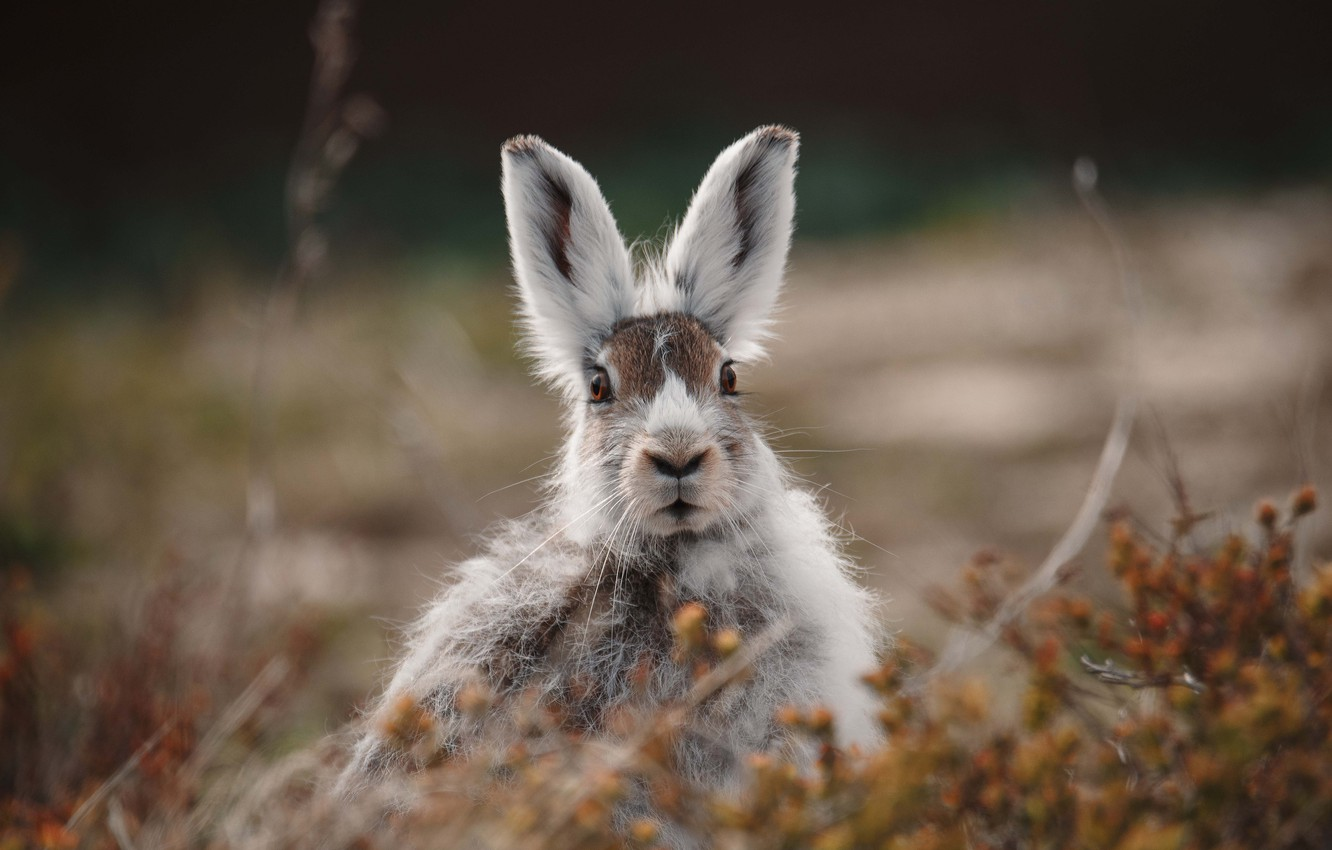 Photo wallpaper grass, eyes, look, fright, Hare