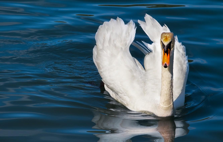 Photo wallpaper white, water, nature, pose, bird, Swan, pond, blue background, swimming