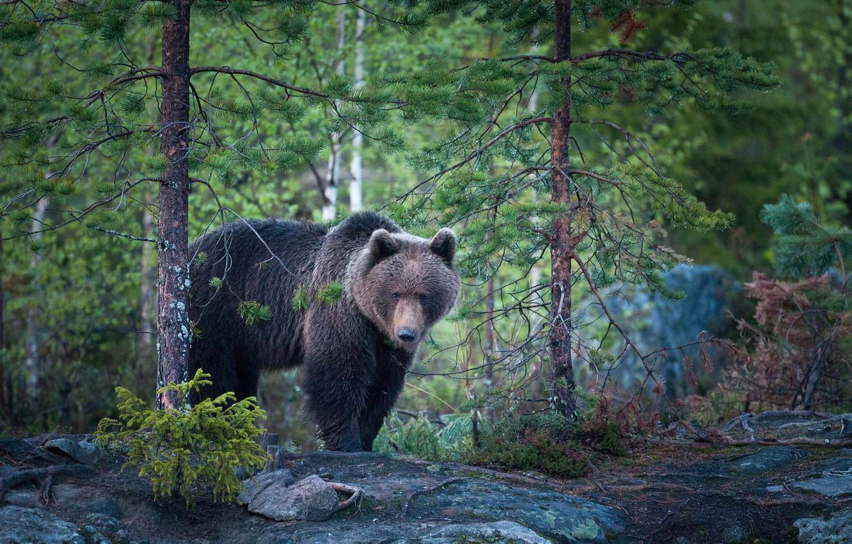 Photo wallpaper forest, nature, bear