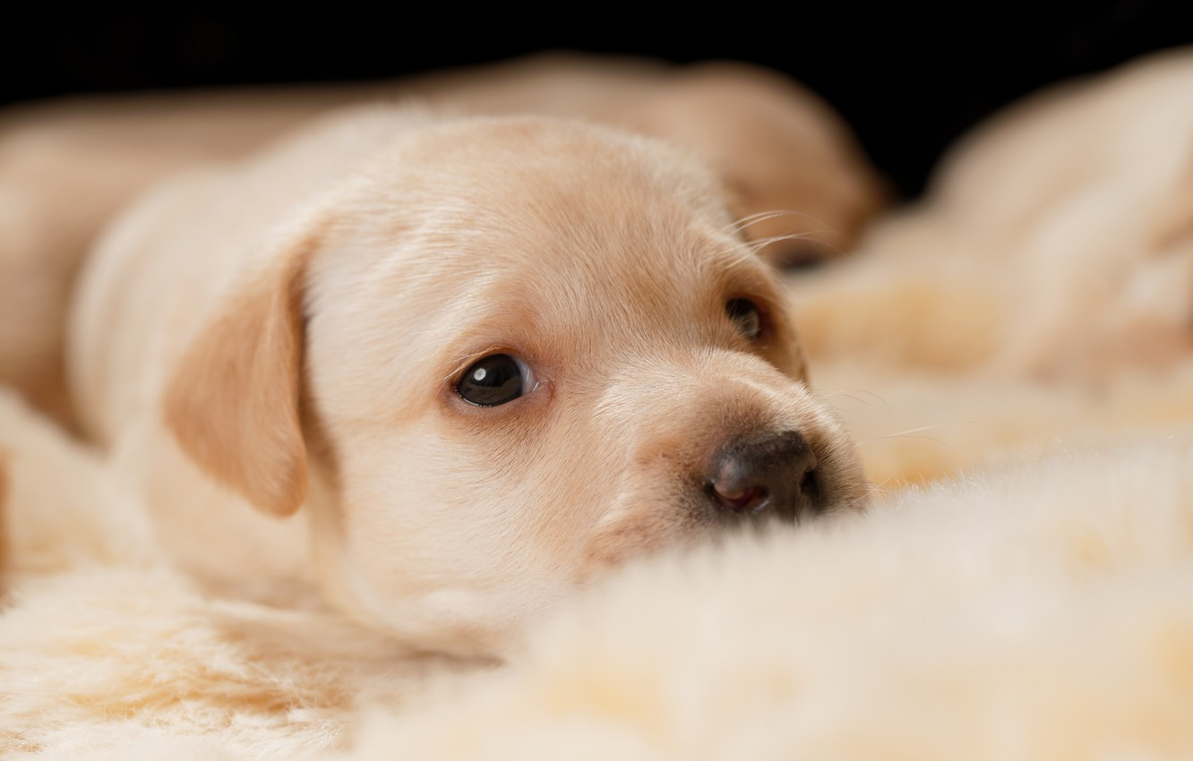Wallpaper Look Portrait Eyes Dog Baby Cute Puppy Lies Fur Face Labrador Golden Retriever Puppy Images For Desktop Section Sobaki Download