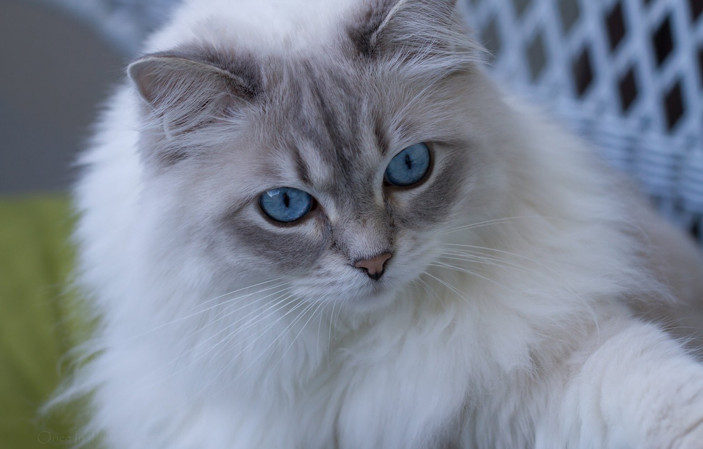 Photo wallpaper cat, look, muzzle, blue eyes, fluffy, Ragdoll