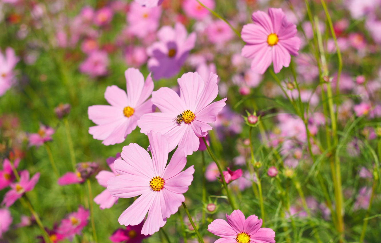 Photo wallpaper field, summer, flowers, colorful, meadow, summer, pink, field, pink, flowers, cosmos, meadow