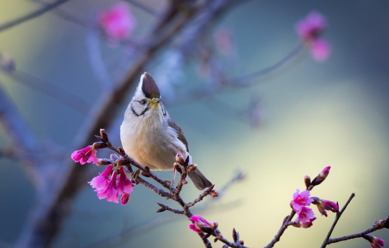 Photo wallpaper bird, branch, Taiwan yuhina