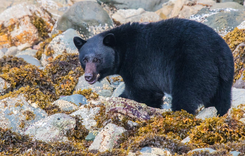 Photo wallpaper look, leaves, stones, shore, black, bear, bear, walk, baribal