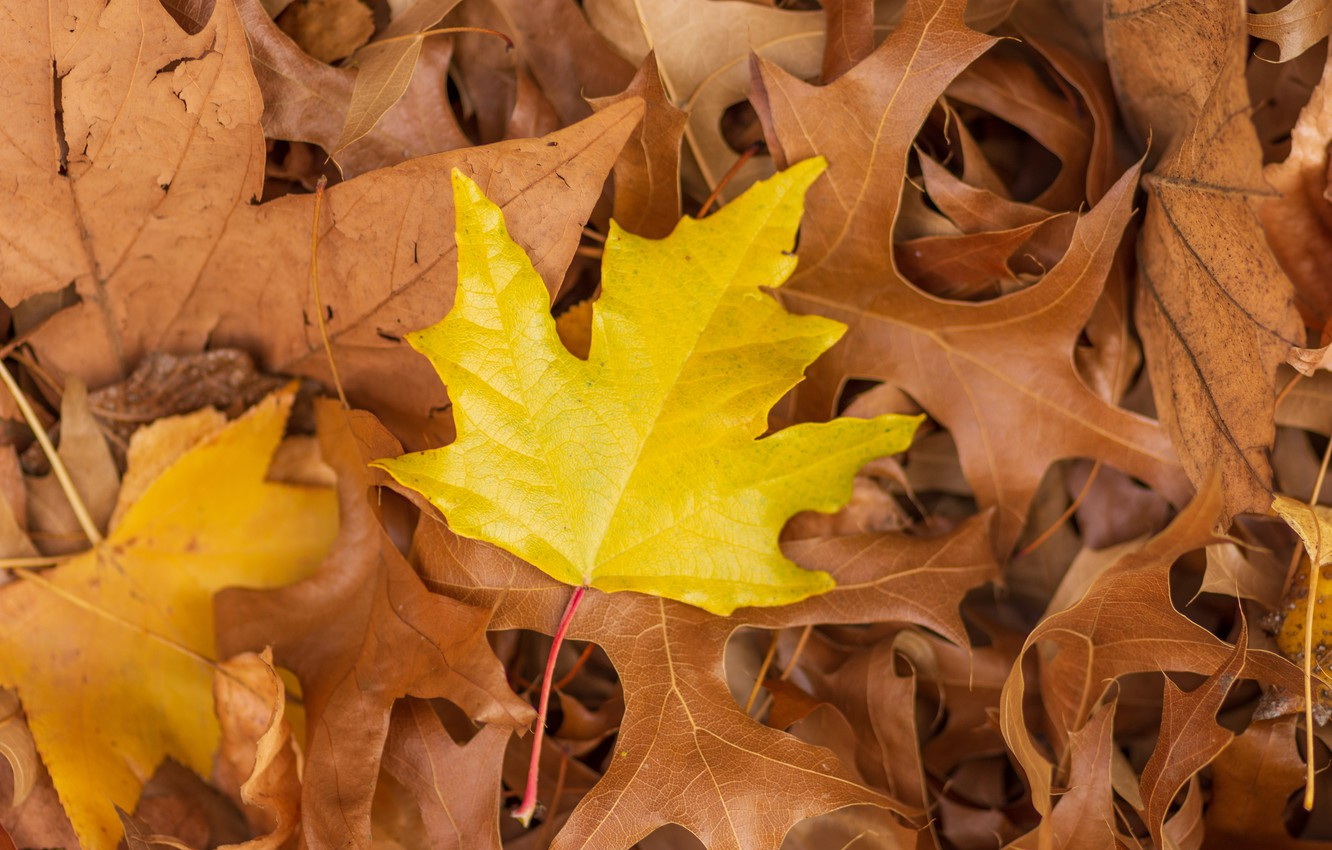 Photo wallpaper autumn, leaves, background, colorful, maple, yellow, autumn, leaves, maple