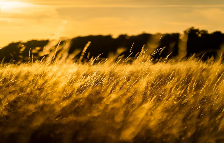 Photo wallpaper field, grass, the sun, macro, light, spikelets, meadow, gold