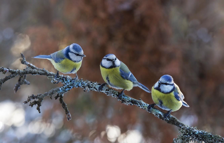 Photo wallpaper birds, nature, branch, trio, bokeh, Tits, Atte Röyskö