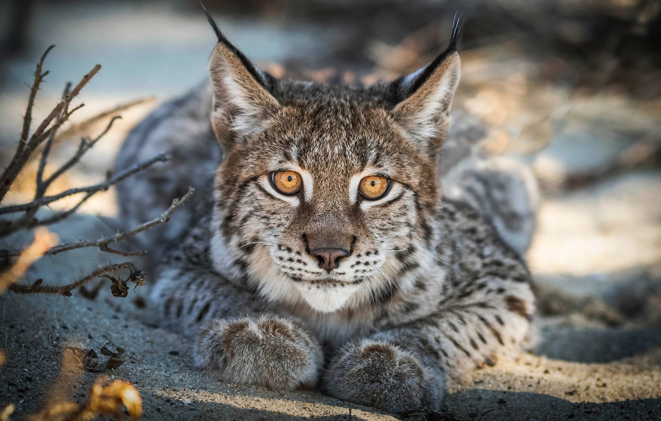 Photo wallpaper look, branches, portrait, lies, lynx, wild cat, young, a small lynx, a small lynx