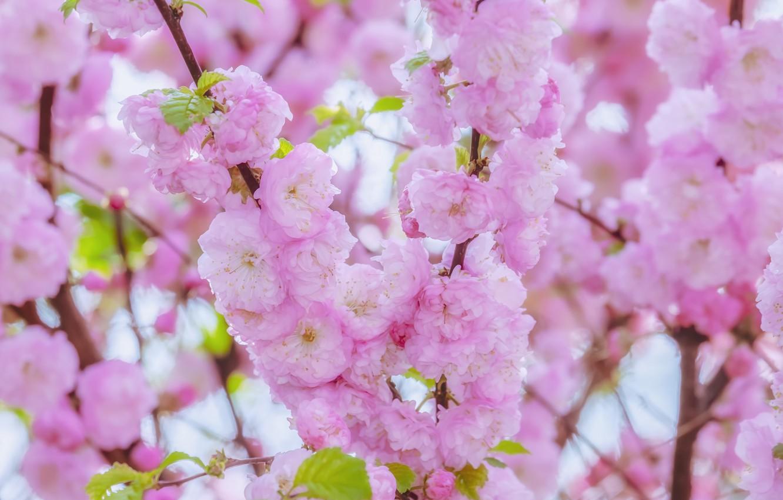 Photo wallpaper cherry, Sakura, flowering, blossom, background, sakura, cherry, japanese, bloom