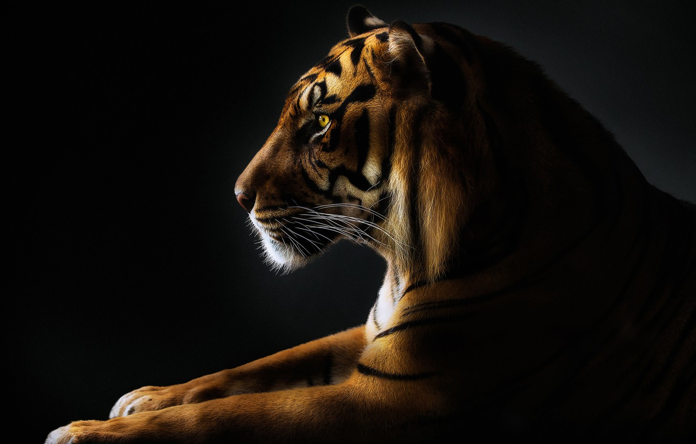 Photo wallpaper mustache, tiger, paws, tiger, paws, mustache, Pedro Jarque
