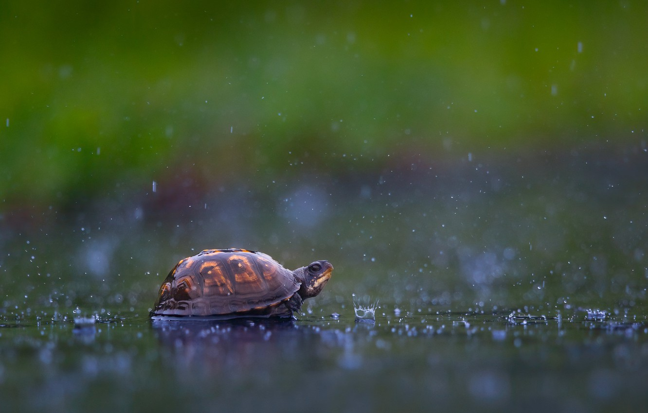 Wallpaper water, drops, squirt, background, rain, turtle images for  desktop, section животные - download