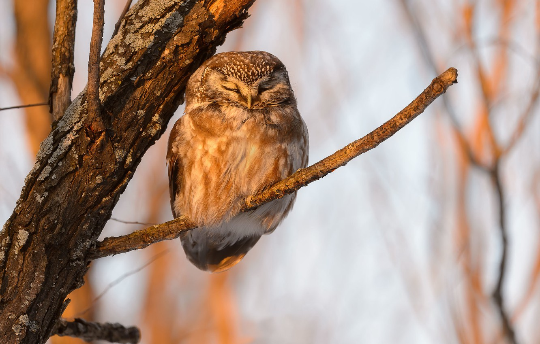 Photo wallpaper nature, owl, bird