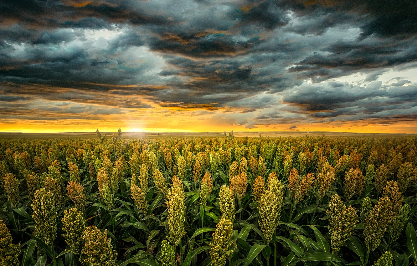 Photo wallpaper field, the sky, the sun, landscape, sunset, clouds, nature, USA, cereals, sorghum, Kansas