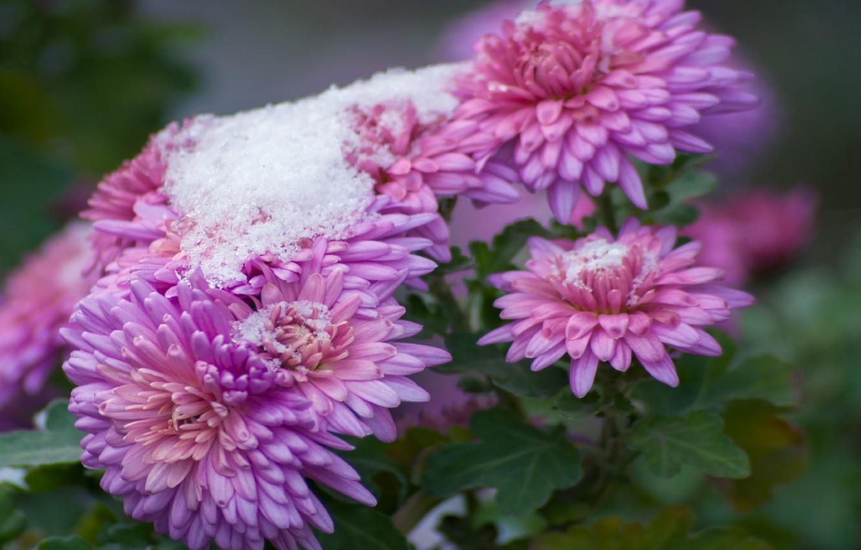 Photo wallpaper autumn, snow, flowers, nature, chrysanthemum