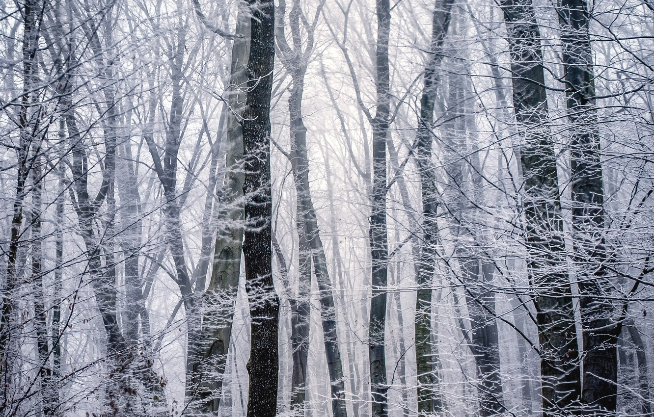Photo wallpaper winter, frost, forest, trees, branches