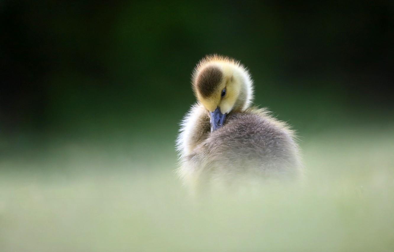 Photo wallpaper pose, the dark background, bird, duck, duck, chick, goose, Gosling