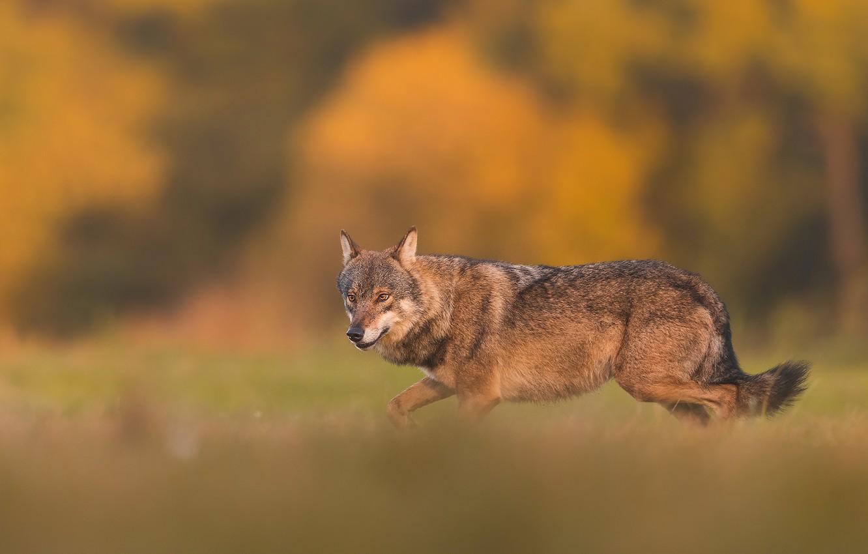 Photo wallpaper wolf, wolf, Lukasz Sokol