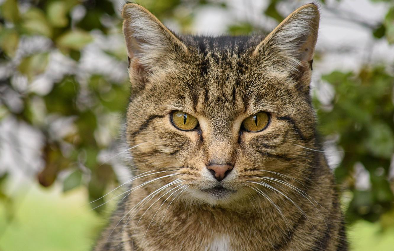 Photo wallpaper cat, cat, look, face, grey, portrait, striped, bokeh