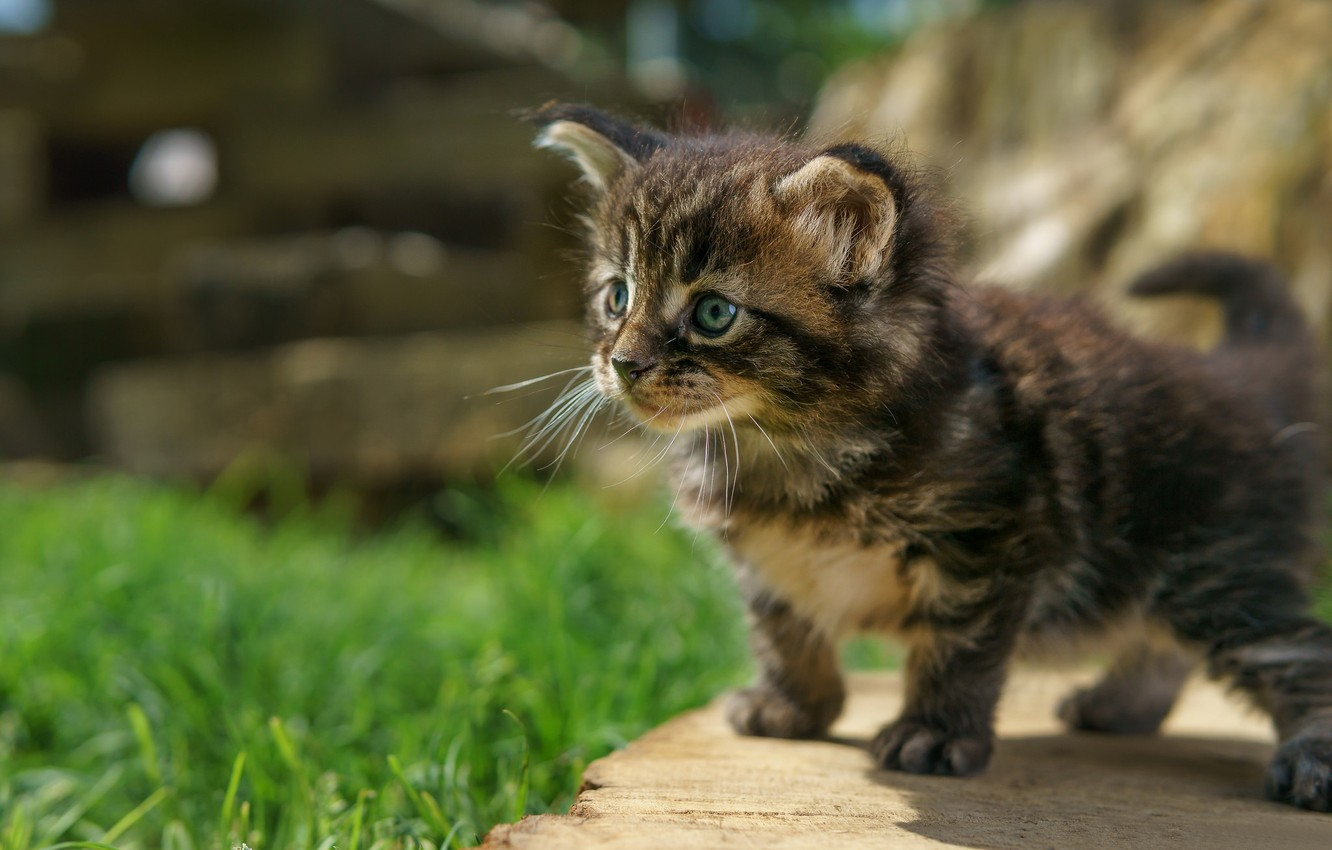 Photo wallpaper baby, kitty, Maine Coon